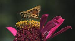 Skipper Butterfly And Zinnia (ioensis) Tags: skipper butterfly zinnia flower garden macro webstergroves missouri mo jdl ioensis 18240001909091b©johnlangholz2019 johnlangholz2019 1824000190909