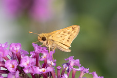 Fiery Skipper (maractwin) Tags: hylephilaphyleus butterflies fieryskipper sylvannursery westport massachusetts unitedstatesofamerica