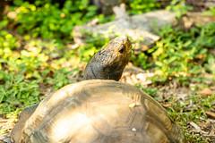 zooatlanta08Sep20190058.jpg (fredstrobel) Tags: zooatlanta tortoise atlanta wildanimals animals usa reptile places ga georgia unitedstatesofamerica