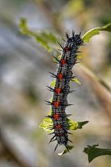 Slinky (ROPhoto77) Tags: fresh outdoors nature gardens green morningcloak cmbg sonya7iii luminar3