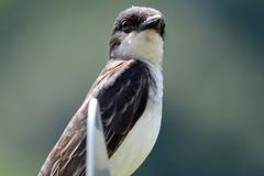 Eastern Kingbird (Astral Will) Tags: bird flycatcher kingbird easternkingbird