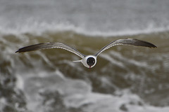 Laughing Gull (M. Coppola) Tags: laughinggull leucophaeusatricilla suffolkcounty newyork