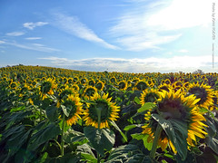 Sunflowers near Grinter Farms, 7 Sept 2019 (photography.by.ROEVER) Tags: kansas leavenworthcounty reno sunflower sunflowers sunflowerfield sunflowerfields grinterfarms grinterfarmssunflowers sunflowergeneralstore flower flowers color colour colors colours landscape bluesky yellow green blue rural country september 2019 september2019 latesummer latesummer2019 morning usa
