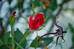 Red Rose Buds.