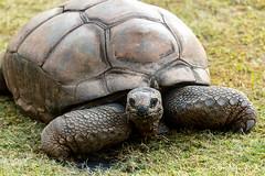 zooatlanta08Sep20190072.jpg (fredstrobel) Tags: zooatlanta tortoise atlanta wildanimals animals usa reptile places ga georgia unitedstatesofamerica
