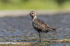 Pluvier bronzé - American Golden-Plover (Lucie.Pepin1) Tags: oiseaux birds pluvier plover limicoles eau water nature wildlife faune fauna luciepepin canon7dmarkii canon300mml