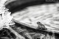 720nm infrared (Brian M Hale) Tags: ir infrared 720nm kolari kolarivision outside outdoors tower hill botanic botanical garden boylston ma mass massachusetts newengland usa brian hale brianhalephoto frog pond toad water pool fountain