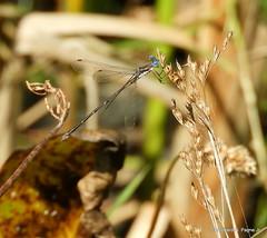 Spotted Spreadwing_N7834 (Henryr10) Tags: woodlandmound hamiltoncountyparkdistrict cincinnati greatparksofhamiltoncounty ohio usa lestescongener spottedspreadwing lestes spreadwing lestidae libélula dragonfly dragonflies libellula libellule libelle drekafluga odonata