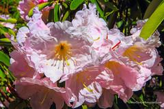 Pink Rhododendron (Peter.Stokes) Tags: australia australian colour landscape nature outdoors photo photography flora flower flowersplants native garden colourphotography