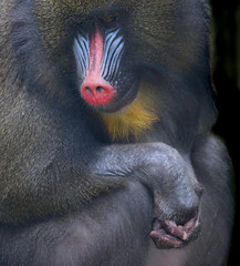 Portrait of a Mandrill (Robin Wechsler) Tags: mandrill animal portrait monkey