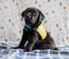 JAY-05183 (Honeycomb_Studios) Tags: puppies puppy dog dogphotography blacklabs labrador labradorretriever portraits
