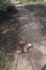 Big gopher snake on trail (EllenJo) Tags: prescott prescottarizona yavapaicounty arizona september9 2019 prescottaz az