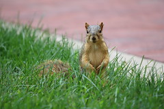 90/366/4107 (September 9, 2019) - Fox Squirrels in Ann Arbor at the University of Michigan - September 9th, 2019