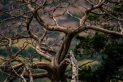 Wichita 4 (melissa.notley) Tags: wichitamountainswildliferefuge oklahoma lawton mountain tree deadtree brown texture
