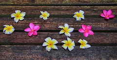 Plumeria (ucumari photography) Tags: ucumariphotography north carolina nc zoo september 2019 plumeria blooms wood bench dsc8837