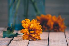 Fall is in the air (hey ~ it's me lea) Tags: fall orange teal crownjar orangeflower