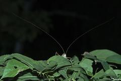Cricket (Kusi Seminario) Tags: insect grillo saltamontes antena antenna macro invertebrado invertebrate canon eos 100mm sandoval tambopata madrededios sandovallake lagosandoval night noche outdoors nature wildlife rainforest selva jungle peru sudamerica southamerica