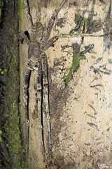 Wolf spider (Kusi Seminario) Tags: araña spider aracnido arachnid creeter macro invertebrado invertebrate canon eos 100mm sandoval tambopata madrededios sandovallake lagosandoval night noche outdoors nature wildlife rainforest selva jungle peru sudamerica southamerica