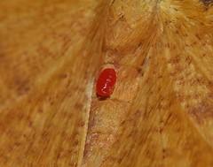 Jockey tick mite Erythraeidae ecto parasite on Moth Eumelea sp aff rosalia Oenochrominae Geometridae Geometroidea Mandalay rainforest Airlie Beach P1140384 (Steve & Alison1) Tags: jockey tick mite erythraeidae ecto parasite moth eumelea sp aff rosalia oenochrominae geometridae geometroidea mandalay rainforest airlie beach