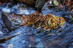 En cadena (SantiMB.Photos) Tags: 2blog 2tumblr 2ig valdetoran valldaran valdaran pirineos pyrenees lleida otoño autumn río river toran agua water hojas leaves geo:lat=4281701482 geo:lon=081547151 geotagged santjoandetoran cataluna españa