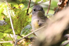 American Redstart (lirpa808) Tags: americanredstart