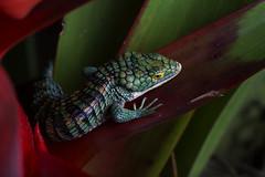 Arboreal Alligator Lizard (DevinBergquist) Tags: alligatorlizard arborealalligatorlizard lizard abronia abroniagraminea veracruz mexico mx wildlife nature herping fieldherping