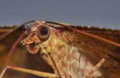 Big brown smiley speckled orange Moth Eumelea sp aff rosalia Oenochrominae Geometridae Geometroidea Mandalay rainforest Airlie Beach P1140386 (Steve & Alison1) Tags: big brown smiley speckled orange moth eumelea sp aff rosalia oenochrominae geometridae geometroidea mandalay rainforest airlie beach
