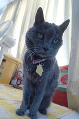 """What an eccentric angle!"" (sjrankin) Tags: 10september2019 edited kitahiroshima hokkaido japan animal cat closeup livingroom angle argent floor curtains window"
