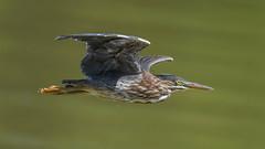 Green Heron  8714 (Paul McGoveran) Tags: bif bird birdinflight greenheron hendrievalley nature nikon500mmf4 nikond500 nikond850 coth5