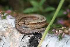 Zootoca vivipara. (ChristianMoss) Tags: viviparous lizard zootoca vivipara reptile eppingforest common outside
