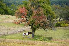 Charly et les prémices de l'automne (Croc'odile67) Tags: nikon d3300 sigma 18200dcoshsmc arbres trees cheval horse paysage landscape automne autumn