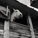 Stables - Grey Horse (35mm Ilford Delta 400 in Finol)