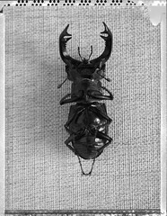 Lucane Cerf-Volant (JJ_REY) Tags: lucanecerfvolant stagbeetle insecte insect bw polaroidpn55 largeformat negativescan instantfilm toyofield 45a aposironarn 150mmf56 rodenstock colmar alsace france
