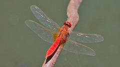 Rote Libelle auf Lesbos (Sanseira) Tags: griechenland greece lesbos lesvos disa travel jeep tour rote libelle
