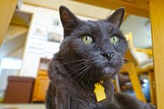That's Enough (sjrankin) Tags: 10september2019 edited kitahiroshima hokkaido japan animal cat closeup livingroom bonkers floor