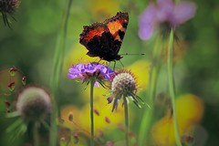 Summer meadow (sylviafurrer) Tags: wiese meadow blume flower butterfly schmetterling sommer summer makro macrodreams