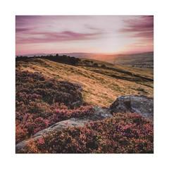 Western Heather (gerainte1) Tags: heather ilkleymoor yorkshire flower bloom rock sunset colour film portra100 hasselblad501