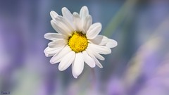 Daisy - 7376 (✵ΨᗩSᗰIᘉᗴ HᗴᘉS✵81 000 000 THXS) Tags: daisy social flora flower belgium europa aaa namuroise look photo friends be yasminehens interest eu fr party greatphotographers lanamuroise flickering canon canonrp
