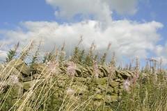 SeptemberRoadside (Tony Tooth) Tags: nikon d7100 sigma 1750mm roadside wall stonewall sky cloud newtown staffs staffordshire countryside rosebay epilobiumangustifolium