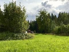Grass Field in Sunshine🌿 (halleluja2014) Tags: life nature forest cottage stuga sunshine august summer falun uggelviken gräs gräsmatta greenfield fields grass