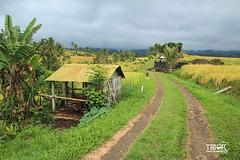 Jatiluwih Rice fields (morbidtibor) Tags: indonesia bali ubud jatiluwih riceterrass ricefields