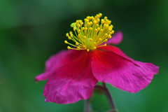 Rock Rose (Helianthemum Ben Ledi) (natureloving) Tags: flower macro nature fleur nikon rockrose rushrose sunrose d90 frostweed afsvrmicronikkor105mmf28gifed natureloving flowersinfrance flowersofeurope flowersineurope fleursenfrance flowersoffrance helianthemumbenledi