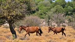 Wildpferde auf Lesbos DiSa Travel Jeep Tour (Sanseira) Tags: griechenland greece lesbos lesvos disa travel jeep tour wildpferde
