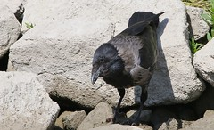 Hooded Crow 080518  (1) (Richard Collier - Wildlife and Travel Photography) Tags: naturalhistory birds hoodedcrow danube