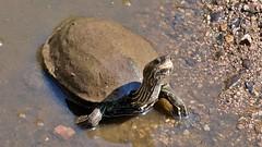 Schildkröte im Bach auf Lesbos (Sanseira) Tags: griechenland greece lesbos lesvos disa travel jeep tour schildkröte bach turtle