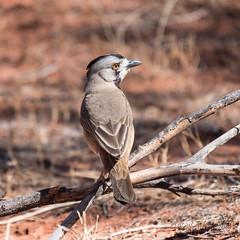 Crested Bellbird 1 (Oreoica gutturalis) (Keefy2014) Tags: crested bellbird oreoica gutturalis