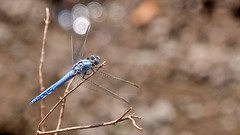 Blaue Libelle auf Lesbos (Sanseira) Tags: griechenland greece lesbos lesvos disa travel jeep tour libelle blau