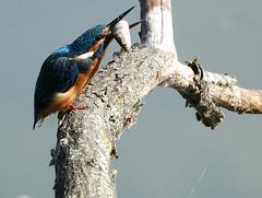 Kingy (hedgehoggarden1) Tags: kingfisher fish birds wildlife nature creature animal sonycybershot suffolkwildlifetrust suffolk eastanglia uk bird sony