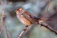 White Crowned Sparrow (juv) (Gf220warbler) Tags: idaho emberizidae sparrow zonotrichi passerine songbirda