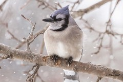 IMG_4993 blue jay (starc283) Tags: bird birding birds nature naturesfinest naturewatcher starc283 flickr flicker flora snow wildlife winter